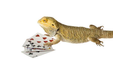 bearded dragon lizard: bearded dragon poker face isolated on white background