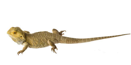 bearded dragon lizard: Bearded dragon isolated on white