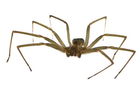 venom: Macro shot of a brown recluse spider on white  Stock Photo
