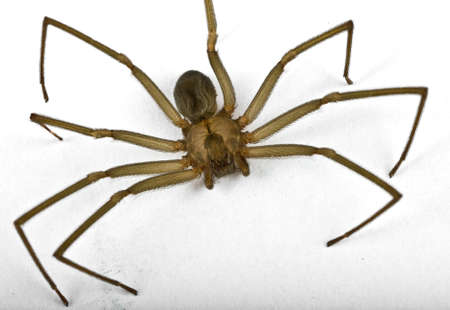 Macro shot of a brown recluse spider on white  Stock Photo