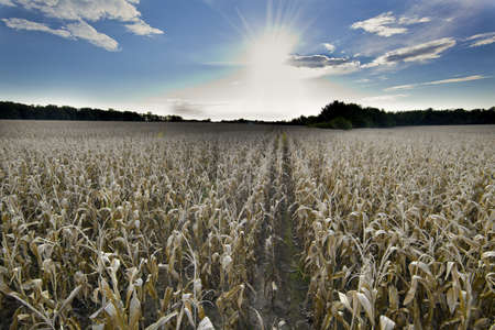 Corn field at harvest time photo