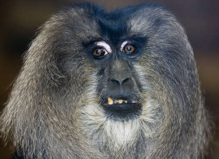 utang: huge male orangutan monkey face Stock Photo