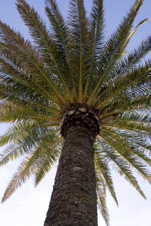 date palm tree: Tall tropical date palm tree over blue sky  Stock Photo