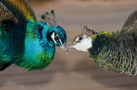Peacocks in love photo
