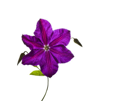 New bloom clematis on white background photo