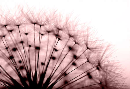 dandelion in red  photo
