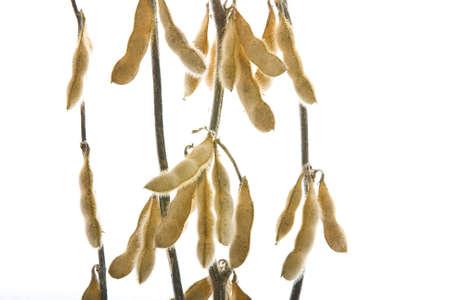 planta de frijol: soja aisladas sobre fondo blanco Foto de archivo