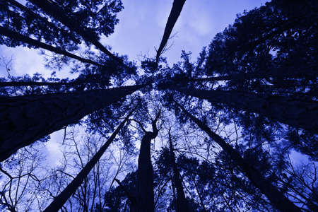 trailway: forest trees looking up