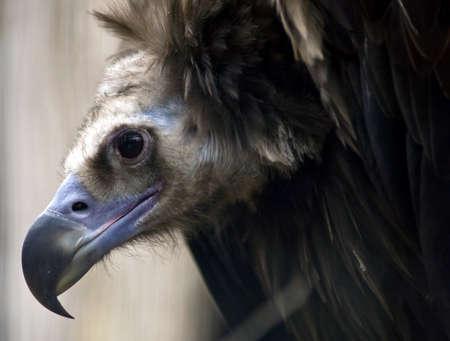 Griffon Vulture face