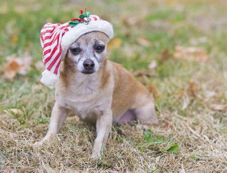 traje mexicano: Chihuahua lindo con el sombrero de Santa