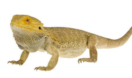 Bearded dragon isolated on white  photo