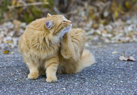 scratches: Outdoor orange cat scratching fleas in yard