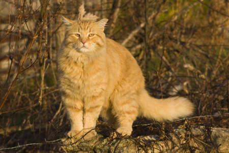 orange cat: Orange cat enjoying the morning sun  Stock Photo