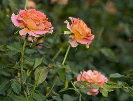 rosas naranjas: Rosa y naranja se levantó en el jardín