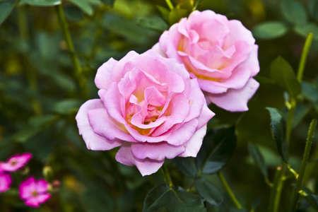 orange rose: Pink and orange rose in garden