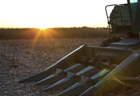 planta de maiz: cosecha de maíz en tierras de cultivo Foto de archivo