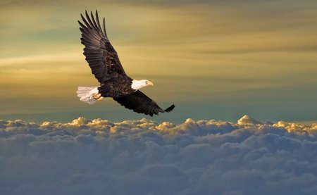 aguila volando: Calvo �guila volando sobre las nubes Foto de archivo