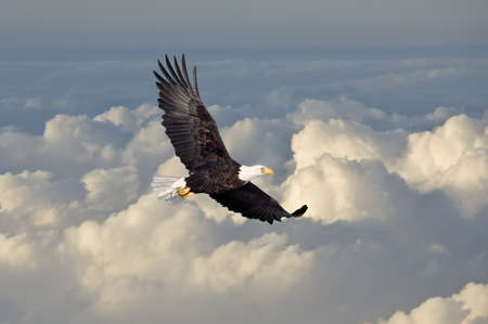 flying eagle: Bald eagle flying above the clouds  Stock Photo