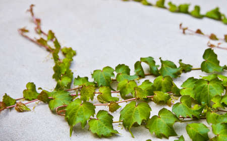 rambler: ivy leaves on a white background  Stock Photo