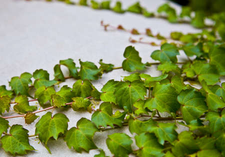 bordered: ivy leaves on a white background  Stock Photo