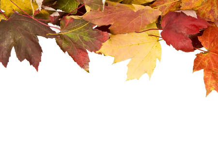 changing colors: Fall leaves isolated and backlit with room for text