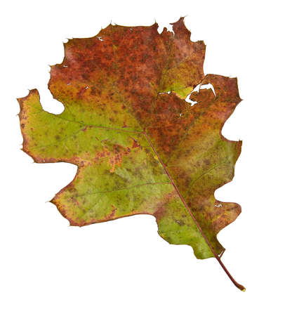 dead leaf: Oak leaf in fall isolated on white