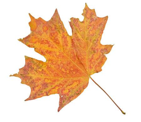 Esdoornblad in de herfst op wit wordt geïsoleerd