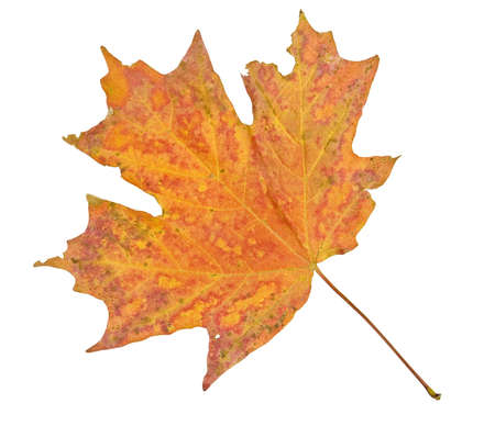 leaf close up: Maple leaf in fall isolated on white