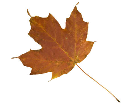 dead leaf: Maple leaf in fall isolated on white