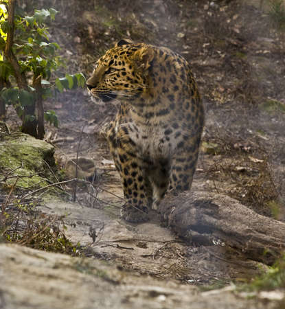 Leopard walking close up photo