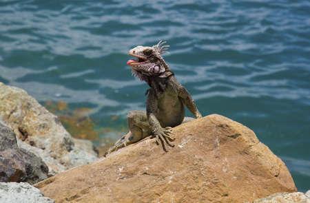 crawl: Iguana on the rocks in the caribbean