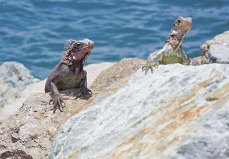 catchlight: Iguana on the rocks in the caribbean
