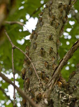 木の樹皮の蝉