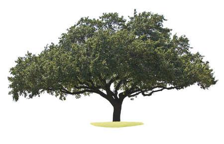 huge tree: Oak tree isolated on white
