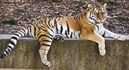 Tiger on a ledge Stock Photo - 15018988