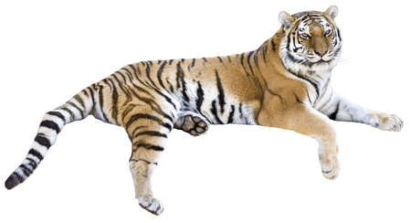 wild asia: Tiger isolated on white
