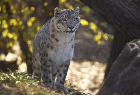 Snow leopard 版權商用圖片