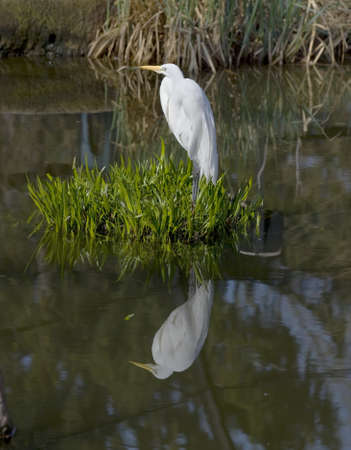 squawk: Small white crane on grass island in pond Stock Photo