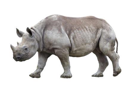 Black rhinoceros isolated on white Stock Photo