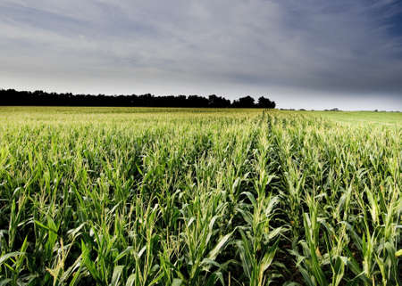cornfield: A very nice corn field in a cloudy day