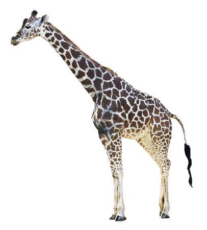giraffe isolated in white
