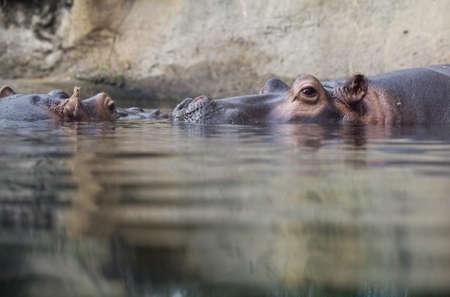 submerge: swimming hippopotamus at water level