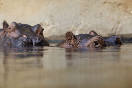amphibious: swimming hippopotamus at water level