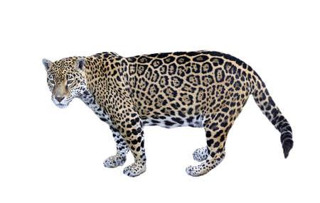 jaguar: Jaguar, Panther, zijaanzicht op wit Stockfoto