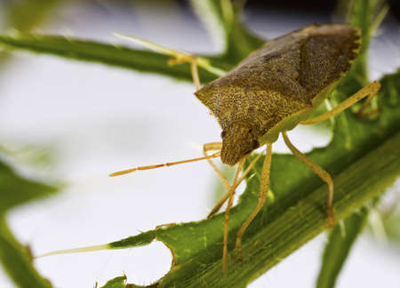 squash bug: Squash beetle on thistle branch,Anasa tristis  Squash Bug   Stock Photo