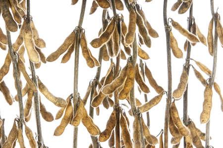 planta de frijol: soja en conchas Foto de archivo