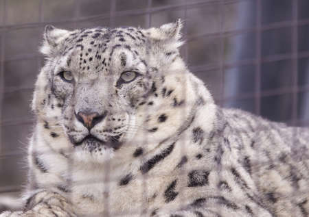 snow leopard s portrait behind bars