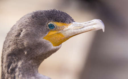 hooked up: Double-crested cormorant portrait Stock Photo