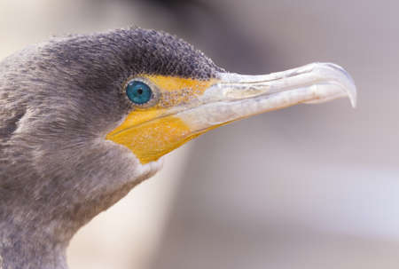 salt marsh: Double-crested cormorant portrait Stock Photo