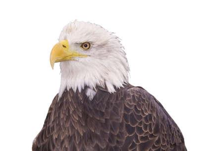 sea creature: Portrait of a bald eagle